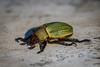 Escaravelho - Scarab Beetle (Pelidnota citripennis) (Eden Fontes) Tags: escaravelho itatiba pelidnotacitripennis sp condomíniocapeladobarreiro invertebrados scarabbeetle