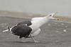 Grote Mantelmeeuw - Larus marinus - Great Black-backed Gull (merijnloeve) Tags: grote mantelmeeuw larus marinus great blackbacked gull ijmuiden meeuw roep