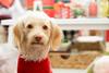Christmas Puppy (fennelouski) Tags: carlsbad california unitedstates us