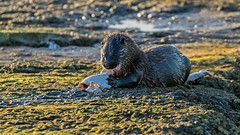 Otter (Distinctly Average) Tags: phillluckhurst distinctlyaverage wwwdistinctlyaveragecouk wildlife wexford ireland wexfordwildfowlreserve otter plaice fish wall sea canon handheld 100400ii 7dmark2 mammal