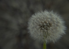 puff (glitterose01) Tags: nature garden outside tree plant flower seeds green grey white brown dandelion earth cycle