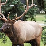Bull Elk, Waskesiu Townsite, Prince Albert National Park thumbnail