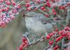 JWL6633 Barred Warbler.. (jefflack Wildlife&Nature) Tags: barredwarbler warbler warblers migrants wildlife wildbirds woodlands hedgerows havant birds avian animal animals songbirds countryside nature
