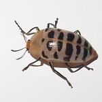 Chrysomelidae or Erotylidae; 20170608; PA-Colón-Gamboa thumbnail
