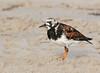 Ruddy Turnstone (dennis_plank_nature_photography) Tags: padreislandnationalseashore ruddyturnstone avian birds nature