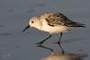 Sanderling (dennis_plank_nature_photography) Tags: padreislandnationalseashore sanderling avian birds nature