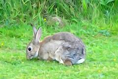 DSC03060 (simon_curwen) Tags: illustration painting paint rabbit hare cute