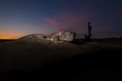 Godzilla!! (soumabrata.m) Tags: hardwickesspinytailedlizard spinytailedlizard reptile ultrawideangle desertnationalpark ©soumabratamoulick rajasthan india twilight wideanglemacro
