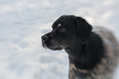 Bella. •Explored• (Rick Teremi) Tags: winter black snow rottweiler dog sweet80
