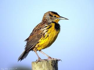 Blackbird? (Eastern Meadowlark)