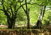 New Forest NP, Hampshire, England (east med wanderer) Tags: england hampshire uk newforestnationalpark forest woodland beech oak nationalpark