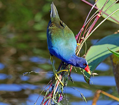 love this angle (Dianne M.) Tags: purplegallinule nature outside leaves sunny ponds hanging florida