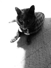 Argent Critiques my Programming, in Grayscale! (sjrankin) Tags: 4january2018 edited animal cat argent upstairs floor yubari hokkaido japan grayscale