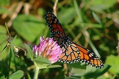 Monarch Butterfly 431 - Danaus Plexippus (Chrisser) Tags: insects insect butterflies butterfly monarch danausplexippus nature ontario canada canoneosrebelt6i canonef75300mmf456iiiusmlens nymphalidae