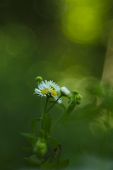 Magerwiesen-Margerite (olds.wolfram) Tags: leucanthemum vulgare magerwiesenmargerite blumen blüten weis grün gelb
