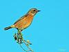 Saxicola rubicola (Tarabilla europea) (1) (eb3alfmiguel) Tags: pájaro aves passeriformes insectívoros turdidos turdidae tarabilla europea saxicola rubicola
