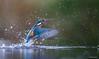 IJsvogel - Kingfisher - Alcedo atthis -1532 (Theo Locher) Tags: alcedoatthis ijsvogel vogels kingfisher martinpecheur eisvogel birds vogel oiseaux netherlands nederland copyrighttheolocher
