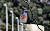 Bluebird on a post (TJ Gehling) Tags: bird songbird turdidae bluebird westernbluebird sialia sialiamexicana fence post fencepost pointmolate richmondca
