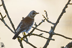 Turdus pilaris (nonnogrizzly) Tags: turduspilaris cesena fauna uccello aves natura bosco albero cachi