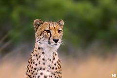 Ghepardo (Mario Barbieri Photography) Tags: 2009 canonef100400mmf4556lisusm canoneos50d ghepardo pindareserve sudafrica thebestofthebest thebestof hluhluwe kwazulunatal za