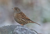 Dunnock (queeny63) Tags: elements