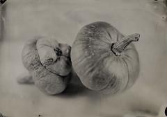 Pumpkins (Giorgio Bordin) Tags: altprocesses wet plate collodion new guy pumpkin