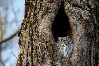 Chroniques d'Angrignon   Amandine au trou no 1   Petit-duc maculé femelle de forme grise   Parc Angrignon   Arrondissement Sud-Ouest   Montréal