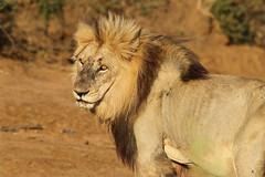 Panthera leo - South Africa (Nick Dean1) Tags: pantheraleo lion animalia chordata panthera cat bigcat krugernationalpark southafrica
