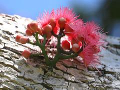 Coolamon (Syzygium moorei) (Poytr) Tags: roseapple pink flowers cauliflory arfp nswrfp qrfp syzygium myrtaceae syzygiummoorei pinkarfflowers macro rbgsarfp flower watermelontree coolamon durobby royalbotanicgardenssydney arfflowers