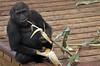 western lowlandgorilla Burgerszoo BB2A5948 (j.a.kok) Tags: gorilla westelijkelaaglandgorilla westernlowlandgorilla lowlandgorilla laaglandgorilla aap animal ape burgerszoo mammal monkey mensaap zoogdier dier africa afrika