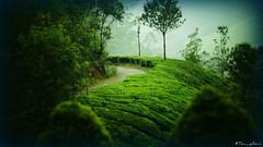 The Bend (the_yellow) Tags: munnar green kerala tamilnadu india nature travel sonyslta58 sony alpha58 hills hill hilltop cloudy foggy tea teaplantation