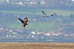 Seeing off the Competition (Roy Lowry) Tags: henharrier marshharrier parkgate riverdee circusaeruginosus circuscyaneus flightshot