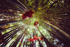Bamboo Forest (ashercurri) Tags: bamboo plant forest tree leaf landscape abstract sony a7ii