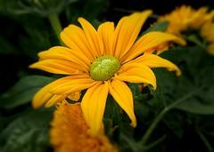 Mellow Yellow (Bob.W) Tags: yellow daisy attinghampark nationaltrust shrewsbury ngc