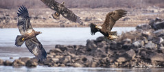 3 Eagles  Rocks (mikeyasp) Tags: eagles baldeagles juvenile fish flying outdoors nature birdsofprey haliaeetusleucocephalus birds avian