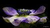 Anemone (Magda Banach) Tags: 80d canon anemone blackbackground colors flora flower macro nature plants sigma150mmf28apomacrodghsm