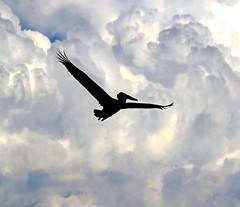 Dinosaur Decendent? (Darts5) Tags: pelican pelicans brownpelican brownpelicans bird birds bif birdinflight silhouette 7d2 7dmarkll 7dmarkii 7d2canon ef100400mmlll canon7d2 canon7dmarkll canon7dmarkii canon canonef100400mmlii