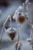 (Laura.Kerr) Tags: spearthistle thistle cirsium cirsiumvulgare winter frost plant