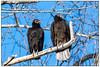 Black Vulture and Turkey Vulture DSC_2208 (blindhogmike) Tags: turkey black vulture raptor lebanon sc south carolina