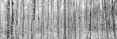 Winter texture (2) (++sepp++) Tags: lech scheuring bayern deutschland de schnee snow bavaria germany bäume trees blackwhite bw monochrom einfarbig sw schwarzweis winter