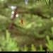 20150711_23 European garden spider (Araneus diadematus) (?) in web among pines | Trail between Herrvik & Sysne, Gotland, Sweden