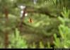 20150711_23 European garden spider (Araneus diadematus) (?) in web among pines   Trail between Herrvik & Sysne, Gotland, Sweden (ratexla) Tags: ratexla'sgotlandtrip2015 nonhumananimals herrviksysneleden gotland 11jul2015 2015 canonpowershotsx50hs herrvik sysne sweden sverige scandinavia scandinavian europe beautiful earth tellus photophotospicturepicturesimageimagesfotofotonbildbilder europaeuropean summer travel travelling traveling norden nordiccountries roadtrip journey vacation holiday semester resaresor nature ontheroad sommar spider spiders spindel spindlar web nät spiderweb spindenät nonhumananimal animal animals cute cool organism life invertebrate invertebrates wildlife biology zoology djur ryggradslösadjur brown earthporn bokeh skandinavien hiking hike ratexla photosbyjosefinestenudd korsspindel araneusdiadematus europeangardenspider crossspider favorite unlimitedphotos almostanything