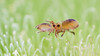 Sminthurides penicillifer / bifidus ? (Jonas Jäschke) Tags: none sminthurides penicillifer canon mpe 65mm sony a6000 yongnuo yn560ii lumiquest softbox makro insekt collembola springtail
