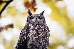 ::: OWL ::: (fgazioli) Tags: coruja owl eyes japan japao d750 70300mm