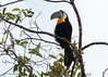 Channel-billed Toucan (sbuckinghamnj) Tags: toucan channelbilledtoucan guyana rupununi iwokramaforest bird neotropical