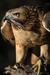 Red-tailed Hawk (Jon David Nelson) Tags: buteojamaicensis redtailedhawk wildlife conservation education highdesert