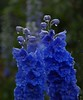 Blue delphinium (Maureen Pierre) Tags: blue delphinium droplets water flower christchurchbotanicgardens garden watering