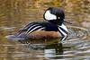 Hooded Merganser (JohnReynolds2012) Tags: vancouver 2017 wildlife winter bird birds canada inaturalist animals bc coquitlam britishcolumbia ca