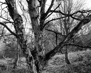 Birch (Hyons Wood)