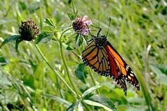 Monarch Butterfly 411 - Danaus Plexippus (Chrisser) Tags: insects insect butterflies butterfly monarch danausplexippus nature ontario canada canoneosrebelt6i canonefs60mmf28macrousmprimelens nymphalidae lens00025 digital